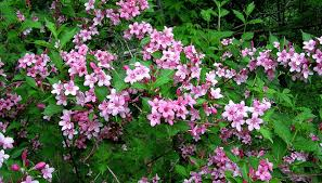 how to prune weigela bushes garden guides