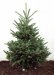 fraser fir real trees for sale delivered and uk