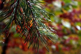 fall pine tree needles trees free nature pictures by