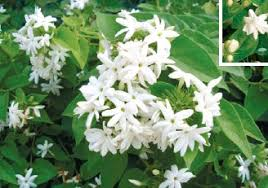 Most Fragrant Plants - pressreader bangkok post 2011 01 09 on the scent of the