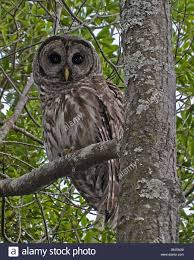 a horned owl sits in a tree the visitors in the