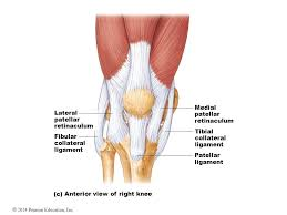 Lateral Patellar Ligament 2014 Pearson Education Inc Powerpoint Lecture Presentations