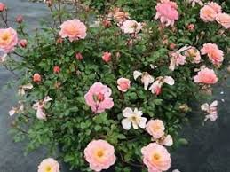 drift roses drift apricot from makers of knockout