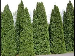 top 5 most popular privacy trees naturehills
