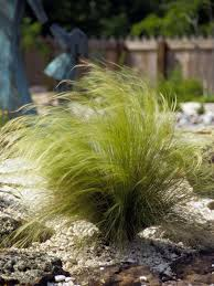 mexican feathergrass nassella tenuissima ornamental grass about