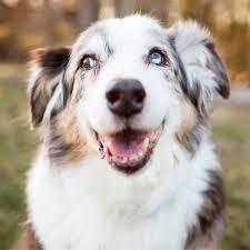 australian shepherd eyebrows 7 surprising ways your dog says