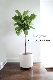 astounding stupendous evergreen house plants fiddle leaf fig