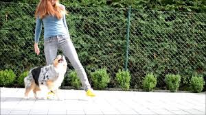 3 legged australian shepherd amazing dog tricks by australian shepherd airin youtube