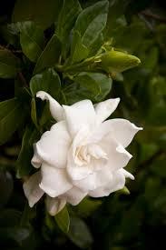 everblooming gardenia jasminoides u0027veitchii u0027 the white garden