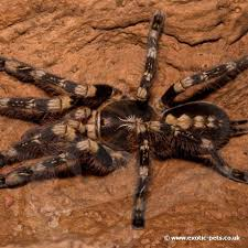 tarantulas for sale buy tarantulas at pets uk