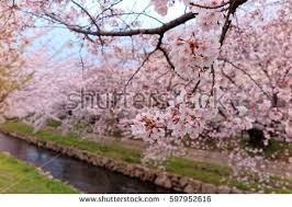 walkways beneath pink cherry blossoms stock photo