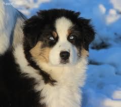 australian shepherd blue eyes black tri with ice blue eyes australian shepherd blu horizon