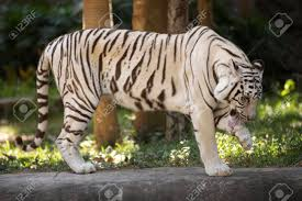 the white tiger stnding and leg with tongue stock photo