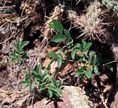 arizona native plant society siberian elm u2014 northern arizona invasive plants
