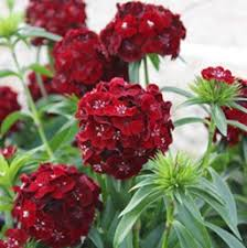 dianthus flower dianthus annual costa farms
