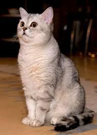Hair Dryer Khusus Kucing kucing shorthair cat www kucing biz