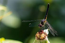 what s a dragonfly habitat like what do dragonflies eat find out now