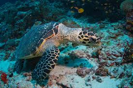 everything you need to know about diving with sea turtles
