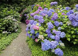 how to are for hydrangea kinds of ornamental plants hydrangea