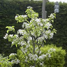 Cherry Tree Fruit - cherry morello cherry trees fruit trees fruits u0026 vegetables