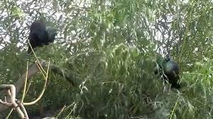 merak hijau kicau mania jenis burung merak hijau youtube