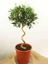 Topiary Frames Wholesale Topiary Trees And Plants Online Top Topiary