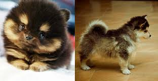 pomeranian husky mix i must have this dog aww