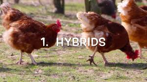 Backyard Laying Chickens by Backyard Chicken Breeds Youtube With Backyard Chickens Why Raise