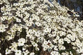 flowering dogwood tree australia margarite gardens