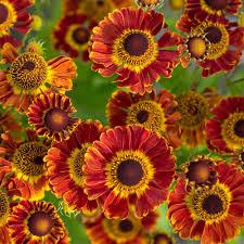 native plants of the northeast native plants for autumn interest white flower farm u0027s blog