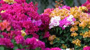 Paper Flowers Video - bougainvillea or paper flowers vietnamese