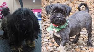 affenpinscher in orlando fl look at these transformations u2013 the animal league