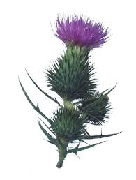 thistle clipart free download clip art free clip art on
