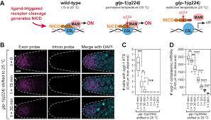 c elegans glp 1 notch activates transcription in a probability