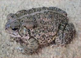 How To Get Rid Of Cane Toads In Backyard 13 Illinois Toads And Frogs Midwestern Plants