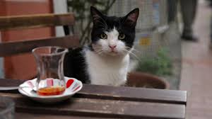 kedi u0027 review a cat documentary for cat people indiewire