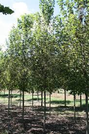fast growing shade trees and ornamental trees maple trees for sale