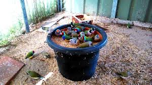 gouldian finches feeding time youtube