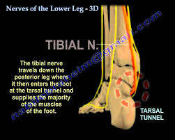 Nerves In The Knee Anatomy Nerves Of The Lower Leg 3d Everything You Need To Know Dr