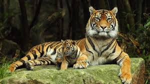 download wallpaper 1920x1080 tiger cub family tigress full hd