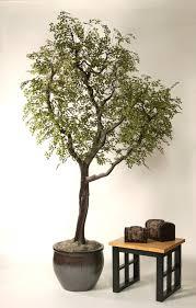 tree black olive on manzanita 8 home decorating resources home