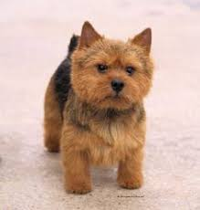 affenpinscher animal planet our best match so the animal planet says kinda weird but that