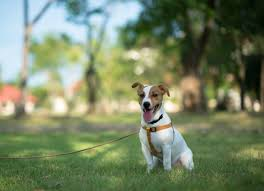 Temporary Blindness In Dogs Brain Disorder Due To Liver Disease In Dogs Petmd