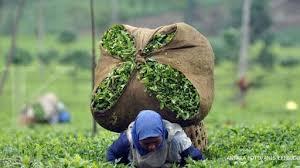 Teh Putih menikmati teh putih teh kaya antioksidan koran kus ipb