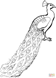 peacock with tail down coloring page free printable coloring pages