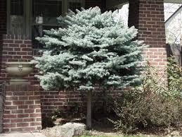 blue spruce globe blue spruce tree form plants encyclopedia