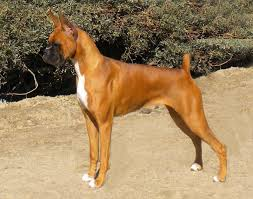 boxer dog 10 months welcome to anden boxers