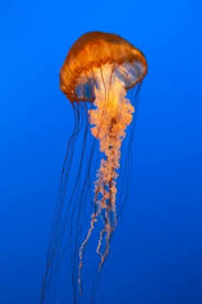 36 best jellyfish images on pinterest jellyfish drawing