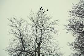 crows in a tree stock photos freeimages com