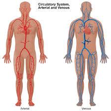 Foot Vascular Anatomy Peripheral Vascular Disease Pvd Stanford Health Care
